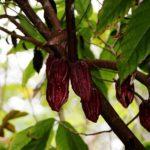 cocoa-422938_640